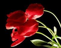 Tulipanes rojos que brillan intensamente Foto de archivo libre de regalías