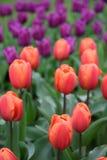 Tulipanes rojos que crecen en un campo con los tulipanes púrpuras en fondo Foto de archivo