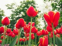 Tulipanes rojos que crecen junto Imagen de archivo libre de regalías