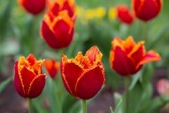 Tulipanes rojos que florecen en el macizo de flores Fotos de archivo