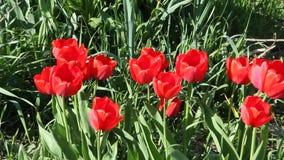 tulipanes rojos que florecen en sol de la primavera almacen de metraje de vídeo