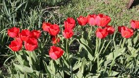 tulipanes rojos que florecen en sol de la primavera almacen de video