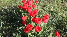 tulipanes rojos que florecen en sol de la primavera metrajes