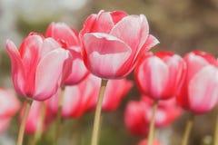 Tulipanes rojos que se abren con luz del sol Foto de archivo libre de regalías