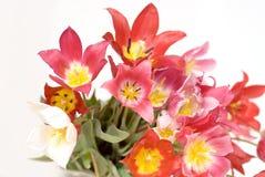 Tulipanes rojos, rosados y amarillos salvajes Fotografía de archivo libre de regalías