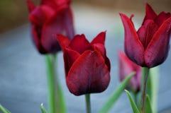 Tulipanes rojos vibrantes imágenes de archivo libres de regalías