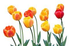 Tulipanes rojos y amarillos Foto de archivo