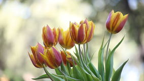 Tulipanes rojos y amarillos almacen de metraje de vídeo