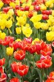 Tulipanes rojos y amarillos Imagen de archivo libre de regalías