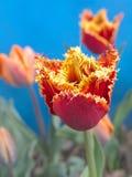 Tulipanes rojos y amarillos Imagenes de archivo
