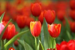 Tulipanes rojos y amarillos Fotografía de archivo