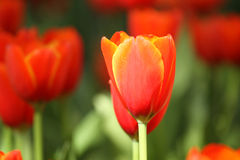 Tulipanes rojos y amarillos Fotos de archivo