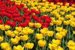 Tulipanes rojos y amarillos Fotografía de archivo libre de regalías