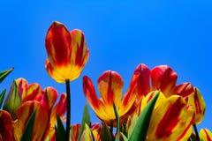 Tulipanes rojos y amarillos con el fondo claro de cielo azul Imágenes de archivo libres de regalías