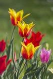 Tulipanes rojos y amarillos en cierre verde del fondo para arriba Imagen de archivo libre de regalías