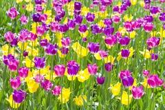 Tulipanes rojos y amarillos en el jardín Fotos de archivo libres de regalías