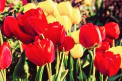 Tulipanes rojos y amarillos en el parque, filtro de la belleza fotografía de archivo libre de regalías