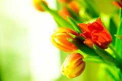 Tulipanes rojos y amarillos frescos en ramo Imagen de archivo