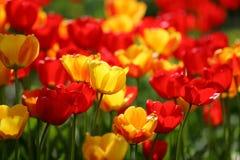 Tulipanes rojos y amarillos hermoso coloreado en un campo fotografía de archivo