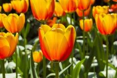 Tulipanes rojos y amarillos hermosos imagenes de archivo