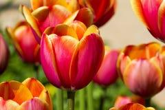 Tulipanes rojos y amarillos hermosos foto de archivo