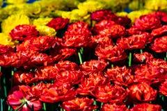 Tulipanes rojos y amarillos hermosos en tiempo soleado en Holanda imagen de archivo libre de regalías