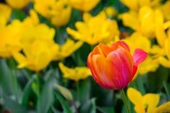 Tulipanes rojos y amarillos; un tulipán rojo se coloca solamente en un campo de floraciones amarillas Fotos de archivo libres de regalías