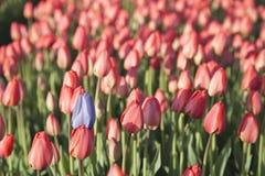 Tulipanes rojos y azules Fotografía de archivo libre de regalías