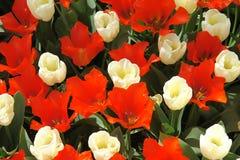 Tulipanes rojos y blancos Imagenes de archivo