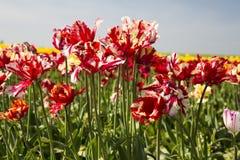 Tulipanes rojos y blancos Imagen de archivo libre de regalías