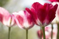 Tulipanes rojos y blancos Imágenes de archivo libres de regalías