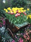 Tulipanes rojos y blancos abigarrados en la demostración Fotos de archivo