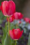 Tulipanes rojos y blancos de la primavera Imagen de archivo libre de regalías