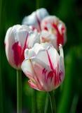 Tulipanes rojos y blancos en fila imagen de archivo libre de regalías