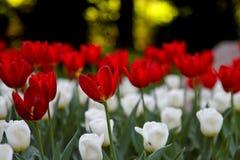 Tulipanes rojos y blancos en jardín Foto de archivo libre de regalías
