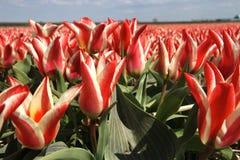 Tulipanes rojos y blancos y cielo azul Imagen de archivo libre de regalías