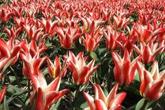Tulipanes rojos y blancos y cielo azul Imágenes de archivo libres de regalías