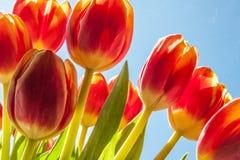 Tulipanes rojos y cielo azul Imagen de archivo