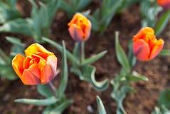 Tulipanes rojos y de color naranja Fotografía de archivo