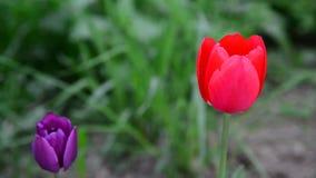 Tulipanes rojos y púrpuras en brisa metrajes