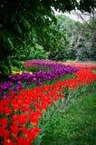 Tulipanes rojos y púrpuras plantados Foto de archivo