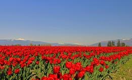 Tulipanes rojos y panadero del Mt en el sol hermoso de la tarde imagenes de archivo