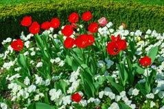 Tulipanes rojos y pensamientos blancos en la floración Foto de archivo