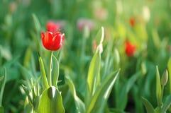 Tulipanes rojos y pequeña abeja Fotos de archivo libres de regalías