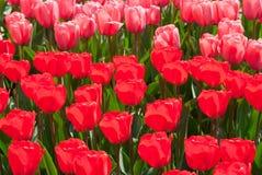 Tulipanes rojos y rosados. Fotos de archivo libres de regalías