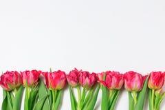 Tulipanes rojos y rosados de la primavera en el fondo blanco Frontera floral panorámica ancha foto de archivo