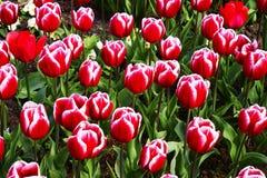 Tulipanes rojos y rosados en el parque Fotografía de archivo