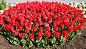 Tulipanes rojos y rosados en el parque Imágenes de archivo libres de regalías