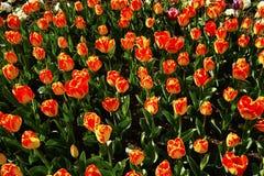 Tulipanes rojos y rosados en el parque Fotos de archivo