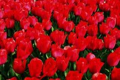 Tulipanes rojos y rosados en el parque Fotos de archivo libres de regalías